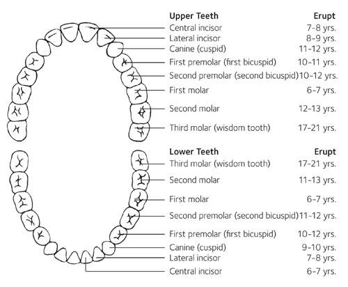 Adult tooth development chart