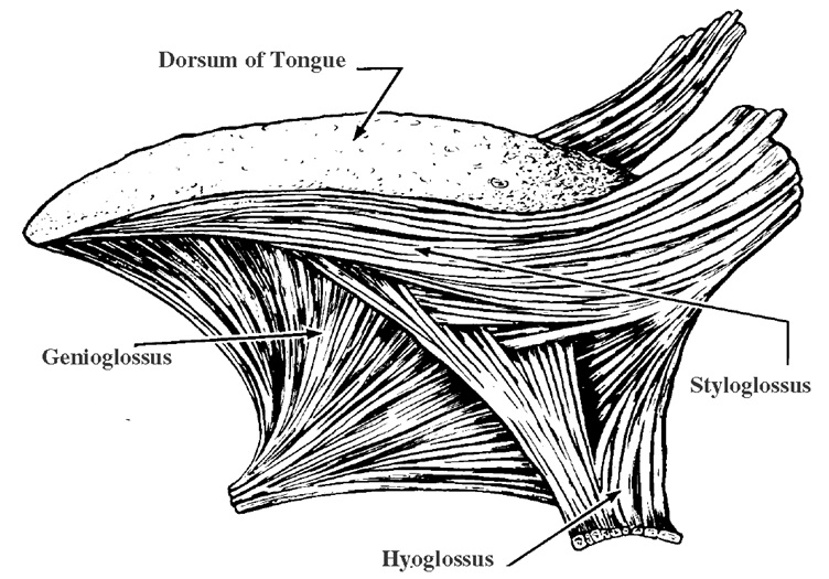 Fig-1. Extrinsic Muscles of the Tongue