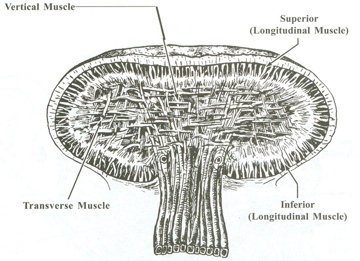 Fig-2. Intrinsic Muscles of the Tongue