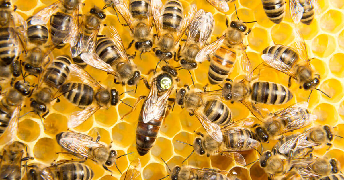 Bees provide a profound example of the epigenetic influence of food on health.
